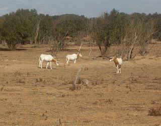 Nationaal Park Souss Massa - De oryxen worden ook wel spiesbokken genoemd, een antilopesoort die in het wild alleen voorkomt in Afrika en Arabië.