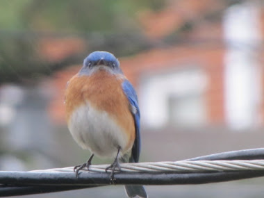 Is this a Pouting Bluebird Staring at Me?