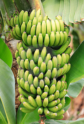analysis the green banana Let's doorganic ® green banana flour will impart a smooth texture and subtle, delicious flavor to cakes, pastries and more when replacing grain flour in baking recipes, use 25% less green banana flour (example: if your recipe calls for.