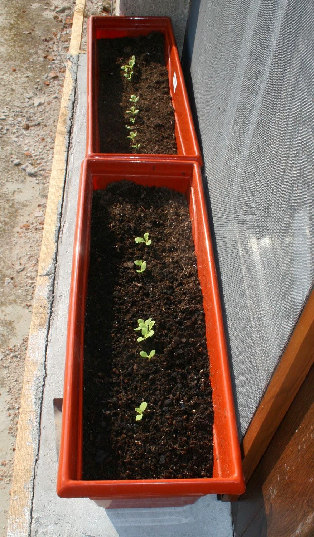 Lettuce growing well