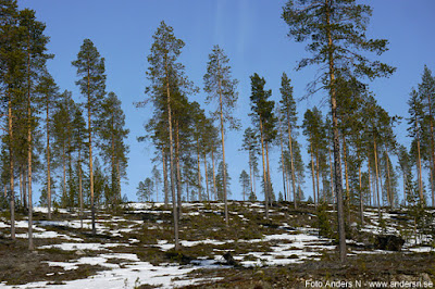 Lappland skog