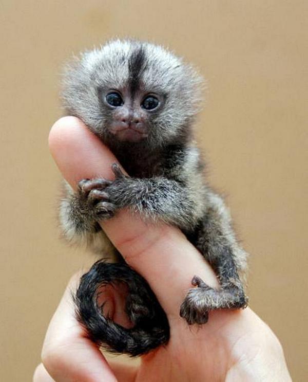 Cute night monkey - photo#14