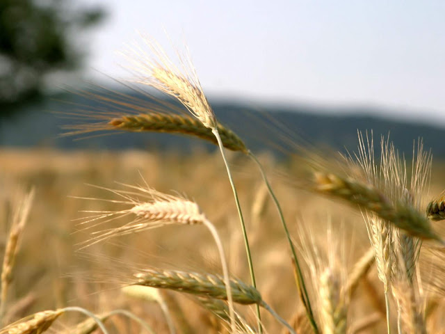 Wheat Close-up Wallpaper hd