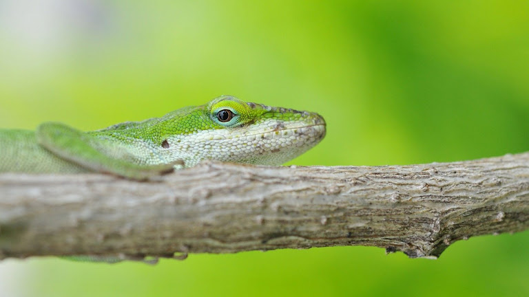 Lizard HD Wallpaper 4