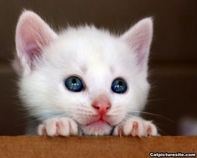 Photo chaton blanc avec beaux yeux
