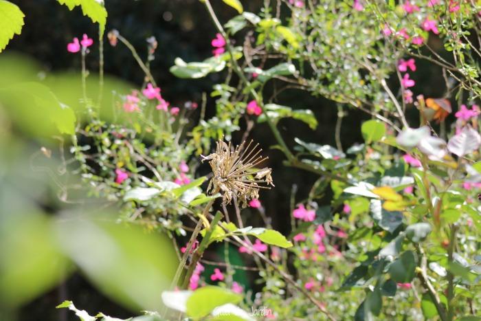 Vieja flor de agapanto seca