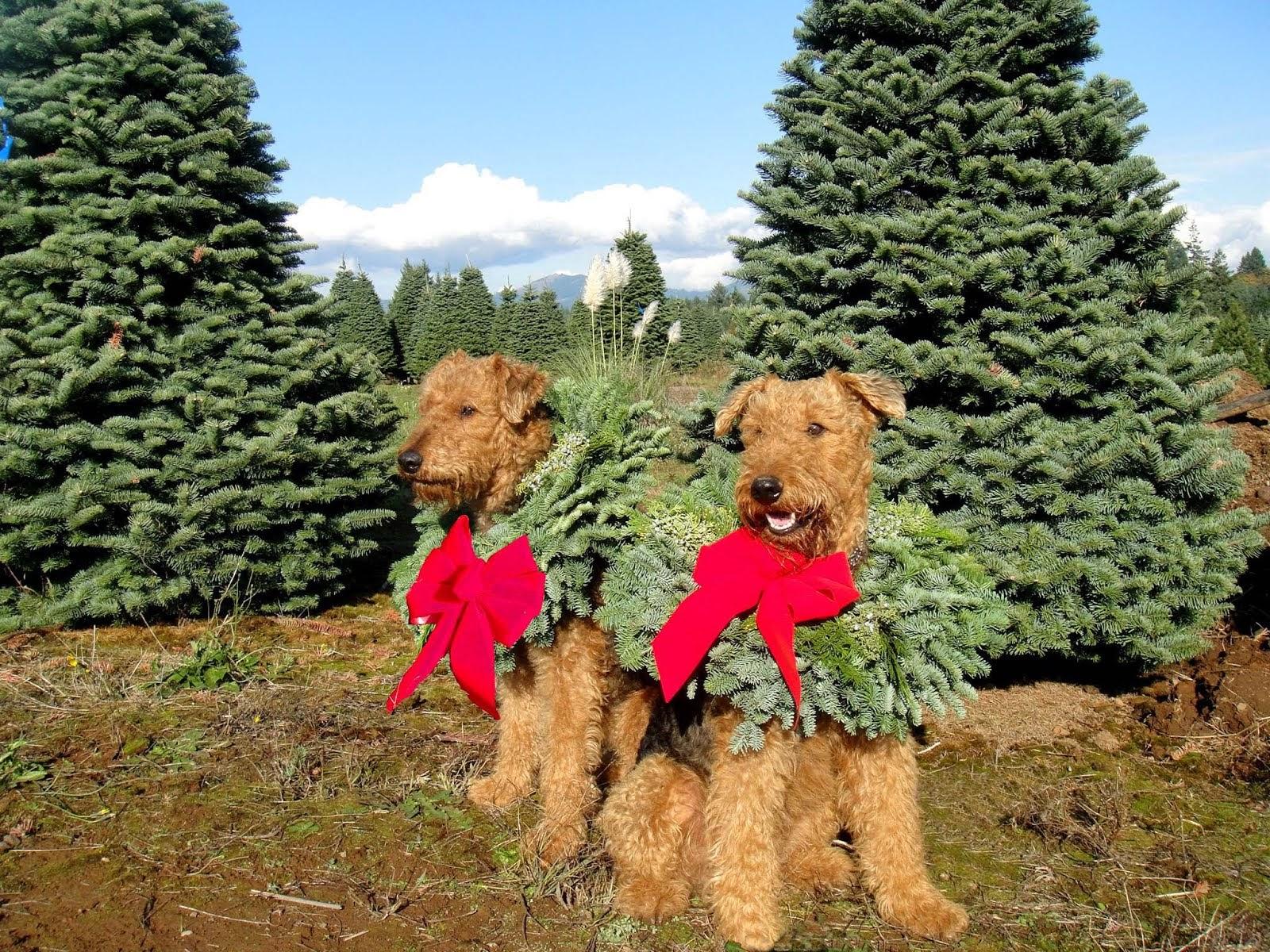 Merrier Terriers