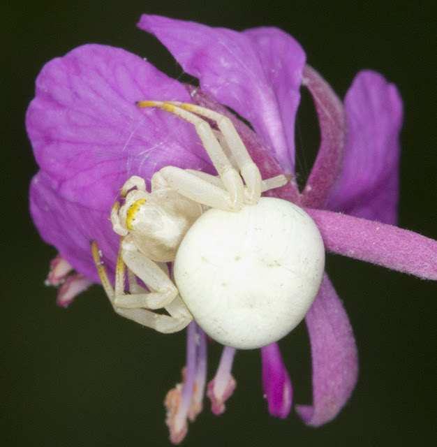 Crab spider, Misumena vatia, on Rosebay Willowherb, Chamerion angustifolium.  High Elms Country Park, 14 July 2011.