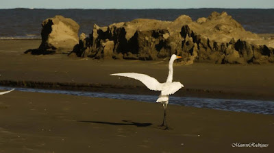 Garça passeando na praia do cassino