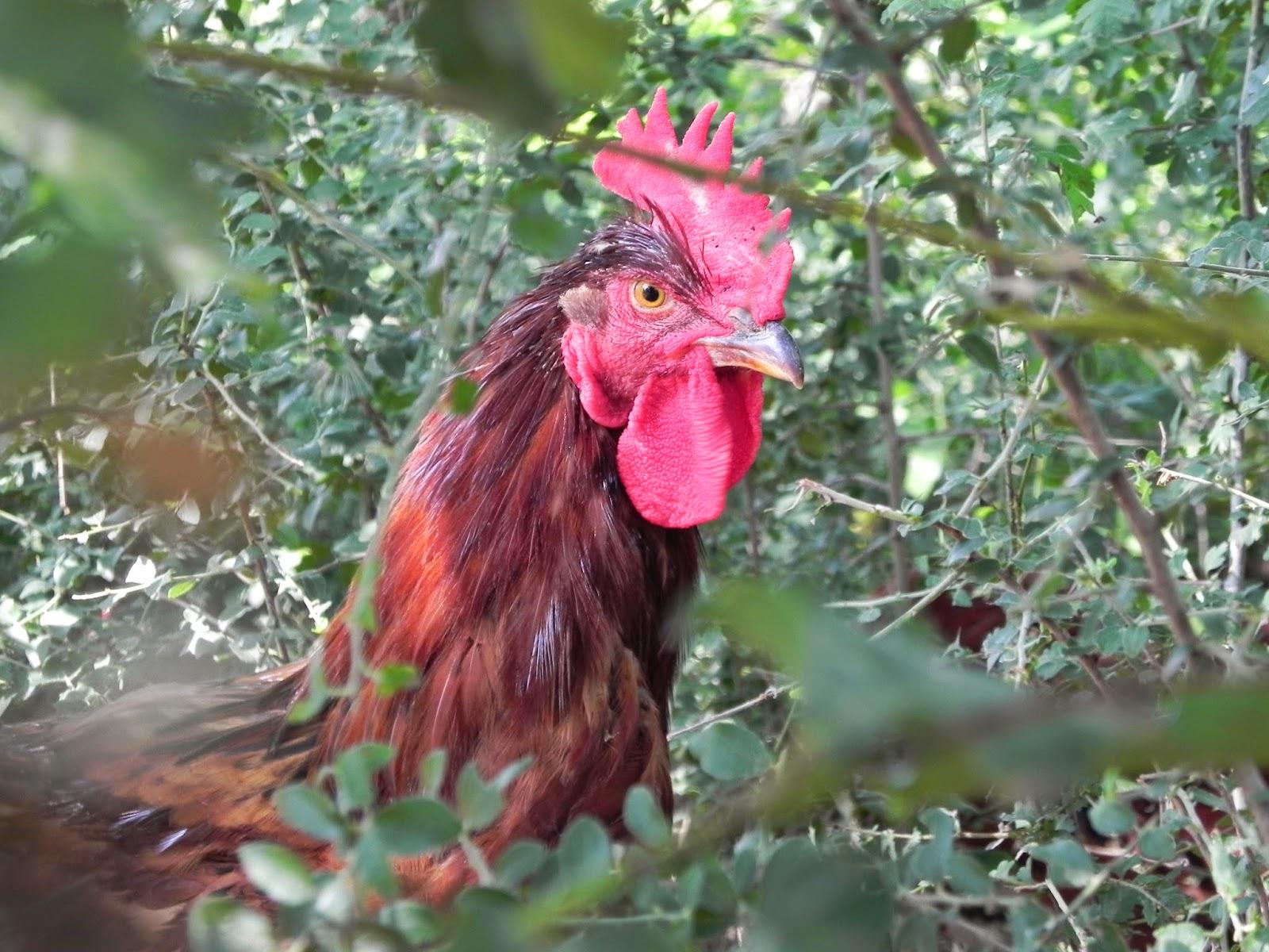 Pollastre de pagès del Montseny