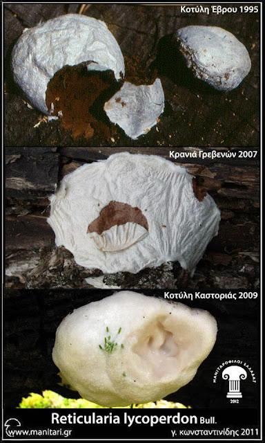 Reticularia lycoperdon Bull.