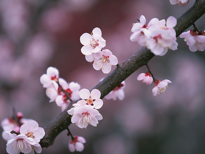 Cherry Blossoms Tattoo Ideas