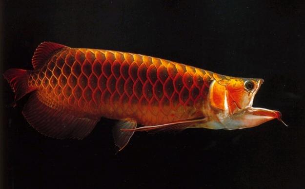 ikan arwana golden red surabaya