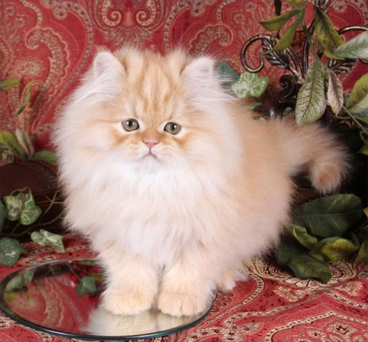 Mèo Ba Tư (Persian)