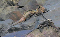 Iguanas ready for a fight to the finish on Isabela with indifferent bystanders on Isabela.