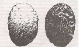 Kapak Sumatera (Sumber: Indonesian Heritage)