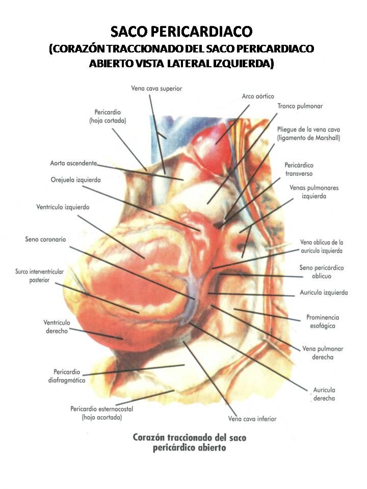 Contemporáneo Anatomía De La Superficie Del Corazón Ilustración ...