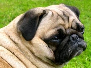 Foto cani piccoli di razza for Nomi per cagnolini di piccola taglia