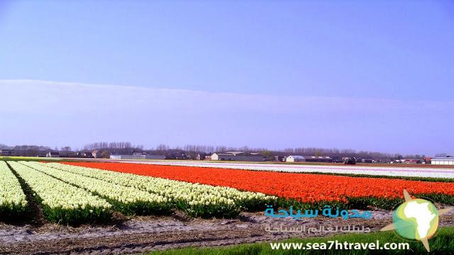مزرعة أزهار الزنبق هولندا