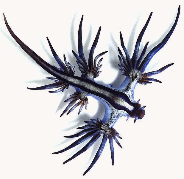 Glaucus atlanticus - photo#2