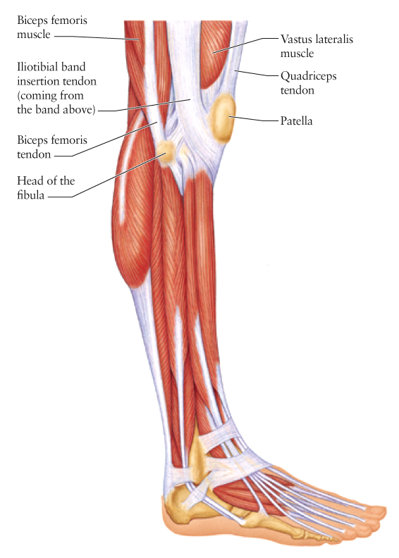 Human anatomy for the artist the lateral knee a change of scenery lets first establish that this is a lateral view of the knee and lower leg the fact that digit number 5 the pinky toe is closest to us makes this clear ccuart Choice Image