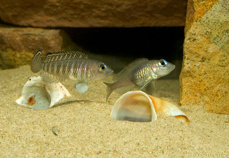 Astatotilapia Aenocolor : Afrikai S?geres Blog: december 2014