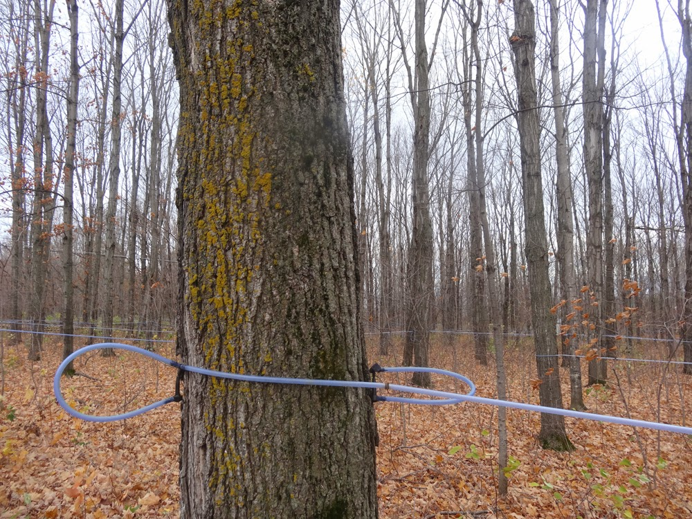 how to know when to tap maple trees