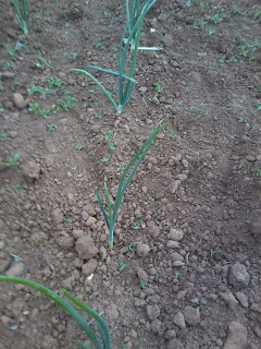 onions with no weeds