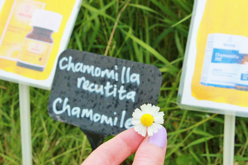 A day at the Weleda gardens in England - chamomile plant