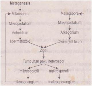 Metagenesis tumbuhan paku heterospor.