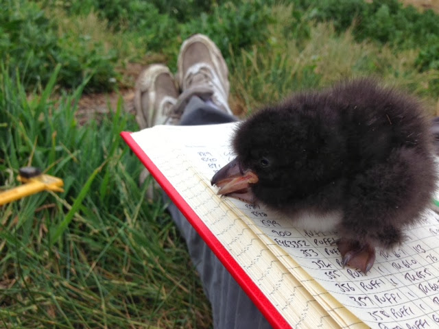 SERENITY: Baby Puffin (Pufflings)