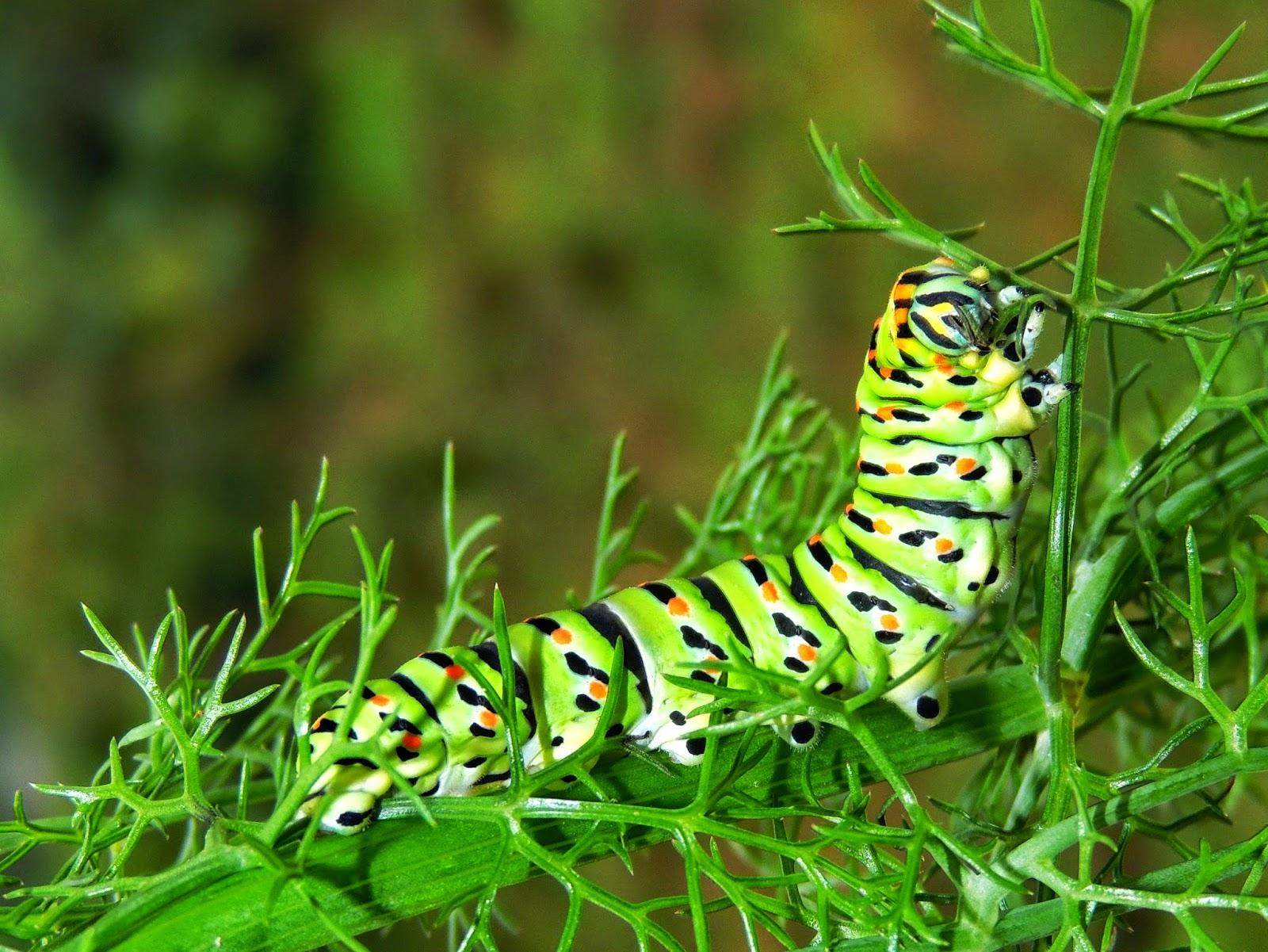 Oruga de Papilio machaon