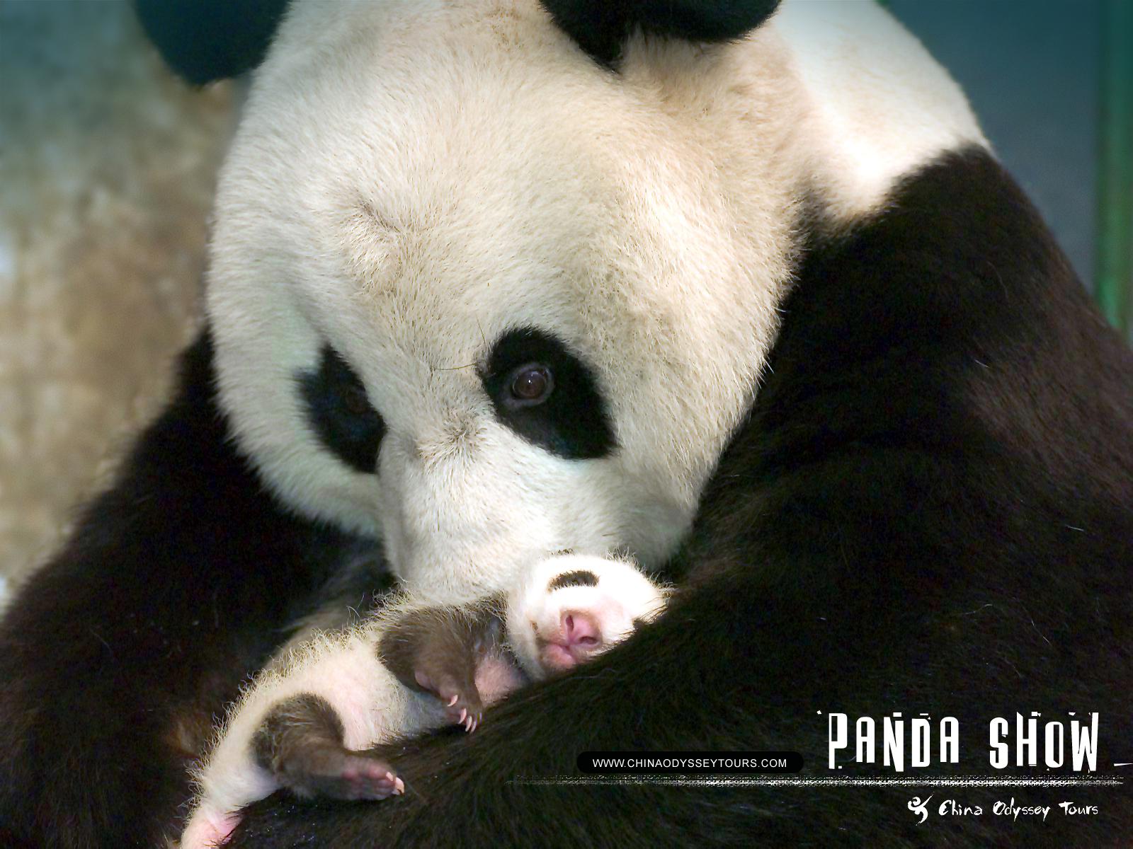 Funny cute panda wallp...