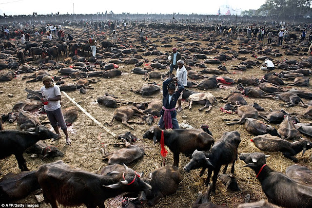 Stunning Photos Of The World's Largest Animal Sacrifice at Gadhimai Festival