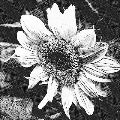 Sunflower black and white etching
