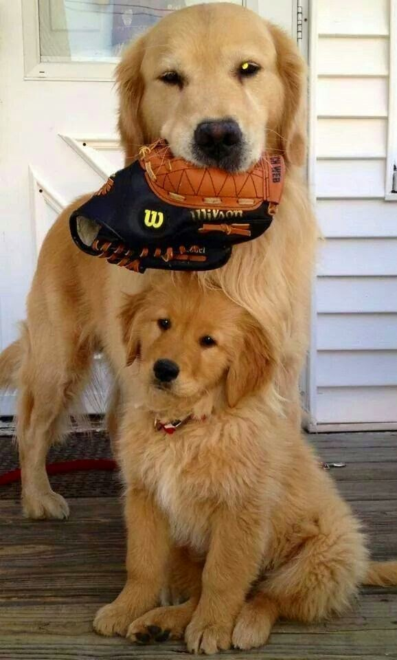 Cute Golden retriever dog Baby and his mother