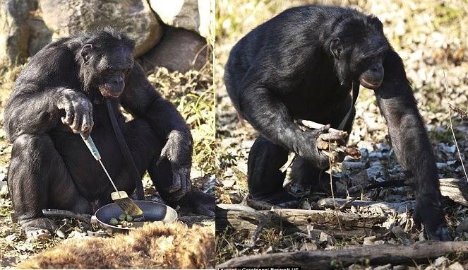 Simpanse Paling Cerdas di Dunia, Bisa Memasak dan Chatting