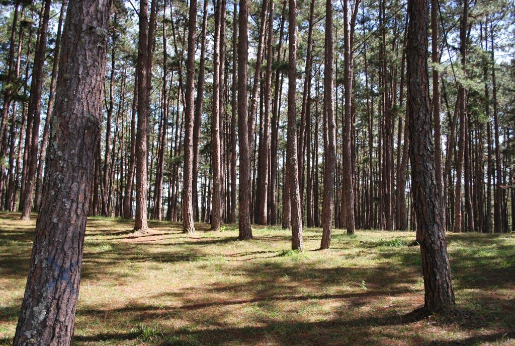 Bạt ngàn rừng Thông Đà Lạt