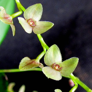 Stelis argentata variedade 1 do blogdabeteorquideas