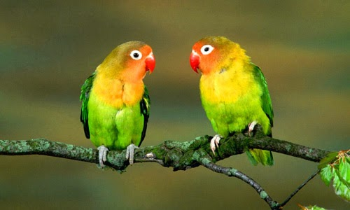 Love Birds cute Wallpaper : Gallery For Love Birds Images Picture Gallery