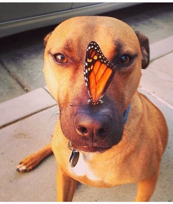 adorable dog pictures, pitbull dog with butterfly on its nose