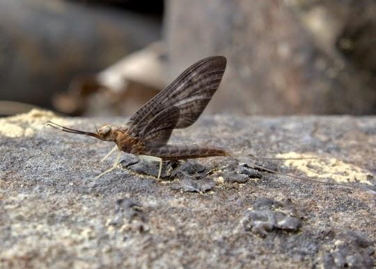 Slate Drake or Isonychia Bicolor Dun Adult