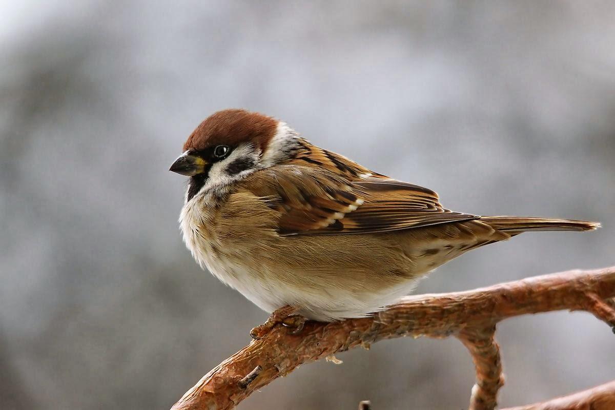 Картинки про зимующие птицы