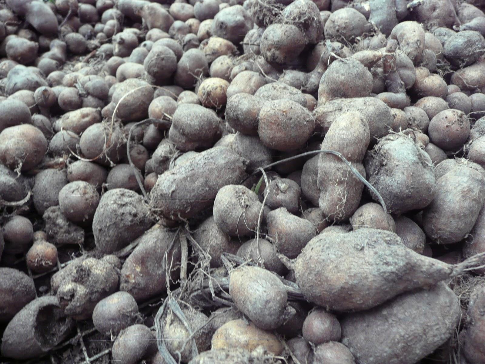 kentang jembut