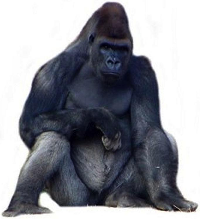 Do Gorillas Apes Chimps Wear Glasses