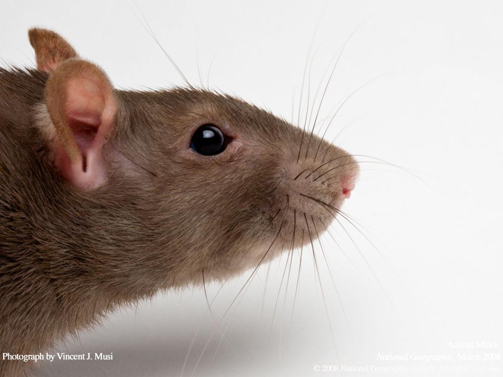 cute rat wallpaper art - photo #16