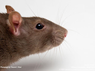 Rats Wallpapers