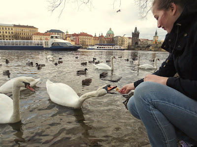 Feeding Swans in Prague