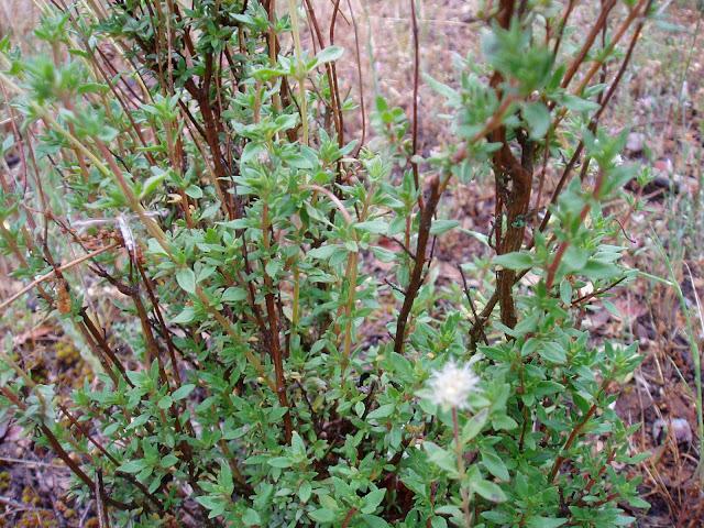MEJORANA: Thymus mastichina