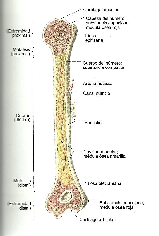 Famoso Anatomía Del Hueso Largo Bandera - Imágenes de Anatomía ...